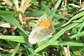 Small heath (Bač) (37983031401).jpg