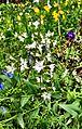 Smallflower woodland-star (14584646756).jpg