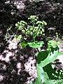 Smyrnium perfoliatum sl12.jpg