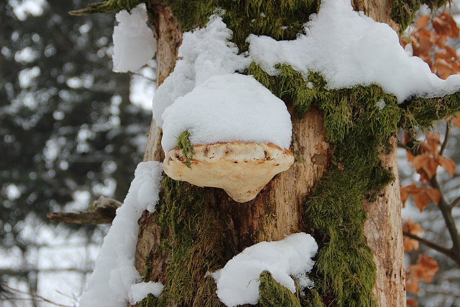 Snow-covered mushroom on a tree