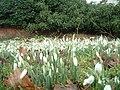 Snowdrops in Baxterley Churchyard - geograph.org.uk - 111036.jpg