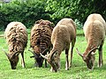 Soay sheep - geograph.org.uk - 829567.jpg