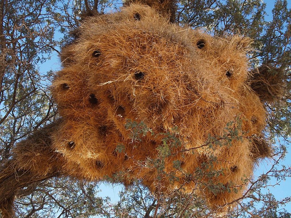 Social weaver colony