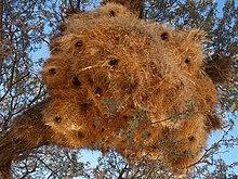 Social weaver colony.jpg