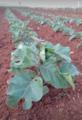 Solanum-melogena.png