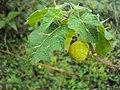 Solanum viarum 01.JPG