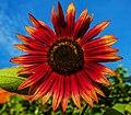 Sonnenblume IMG 0012.jpg