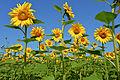 Sonnenblumen Biohof Tomic 18072014 677.jpg