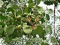 Sonneratia sp. Malaysia02.jpg