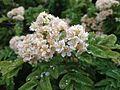 Sorbus maderensis flowers.jpg