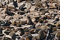 South African Fur Seals (Arctocephalus pusillus) (32894847795).jpg