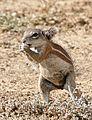 South African Ground Squirrel (Xerus inauris) female (32185106654).jpg