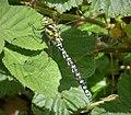 Southern Hawker Aeshna cyanea . male (45403948074).jpg