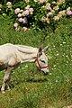 Spanish mule (4108648235).jpg