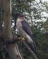Sparrowhawk 4 (4465194614).jpg