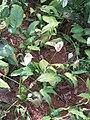 Spathiphyllum Wallisii - Peace Lily Plant at Wayanad (1).jpg