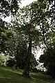 Spathodea Campanulata - 05.jpg