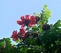 Spathodea campanulata, African Tuliptree. (6431805053).jpg