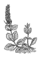 Speedwell (PSF).png
