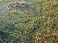 Sphagnum moss in bog pool - geograph.org.uk - 808982.jpg