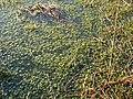 Sphagnum moss in bog pool - geograph.org.uk - 808982.jpg
