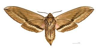 Sphinx ligustri - Image: Sphinx ligustri MHNT ventre femelle