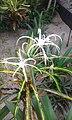 Spider lilly.jpg