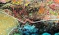 Spiny Lobster (Panulirus penicillatus) (6053186078).jpg