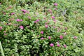 Spiraea japonica s4.jpg