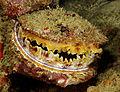 Spondylus varius Thorny Oyster Fiji by Nick Hobgood.jpg