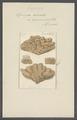 Spongia adriatica - - Print - Iconographia Zoologica - Special Collections University of Amsterdam - UBAINV0274 112 02 0005.tif