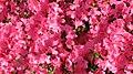 Spring in St. James Park - London (3720899249).jpg