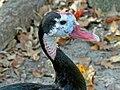 Spur-winged Goose (Plectropterus gambensis RWD2.jpg