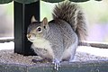 Squirrel - April 2009 (3411378343).jpg
