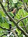 Squirrel Cuckoo (26977882928).jpg