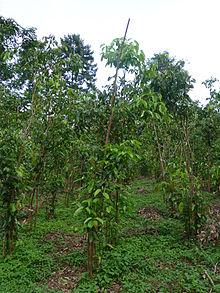 http://upload.wikimedia.org/wikipedia/commons/thumb/3/3c/Sri_Lanka-Cinnamomum_verum_%282%29.jpg/220px-Sri_Lanka-Cinnamomum_verum_%282%29.jpg