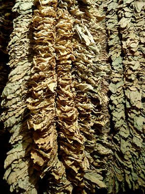 Turkish tobacco - Stacks of dried oriental tobacco in Prilep, Macedonia