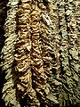 Stacks of tobacco in Prilep.JPG
