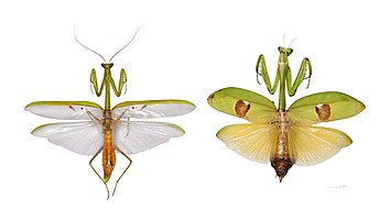 Illustration of sexual dimorphism in mantidae