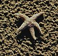 Starfish washed in on Rossbeigh Beach (85565398).jpg