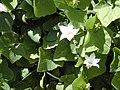 Starr-011121-0014-Coccinia grandis-flowers and leaves-Kahului-Maui (24175858629).jpg