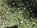 Starr-020221-0041-Erigeron karvinskianus-flowers and leaves-Polipoli-Maui (24464307051).jpg