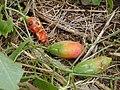 Starr-020620-0077-Coccinia grandis-immature to ripe fruits-Kapalua-Maui (23921798564).jpg