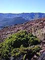 Starr-031001-0041-Coprosma ernodeoides-habit-Ka Moa o Pele HNP-Maui (24376638190).jpg