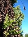 Starr-041211-1458-Asplenium adiantum nigrum-habit-Puu Nianiau-Maui (24425697150).jpg