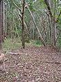 Starr-041214-1501-Eucalyptus sp-trail building-Makawao Forest Reserve-Maui (24093075844).jpg