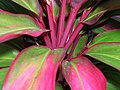 Starr-060916-8973-Cordyline fruticosa-red and green leaves-Makawao-Maui (24839153986).jpg