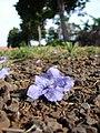 Starr-080417-4093-Jacaranda mimosifolia-fallen flower-Makawao-Maui (24278823794).jpg
