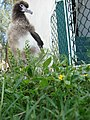 Starr-080531-4791-Calyptocarpus vialis-flowering habit with Laysan albatross chick-Charlie barracks Sand Island-Midway Atoll (24792810302).jpg