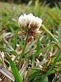 Starr-090317-4831-Trifolium repens-flower-Kahakapao Reservoir LZ Haleakala Ranch-Maui (24321273293).jpg